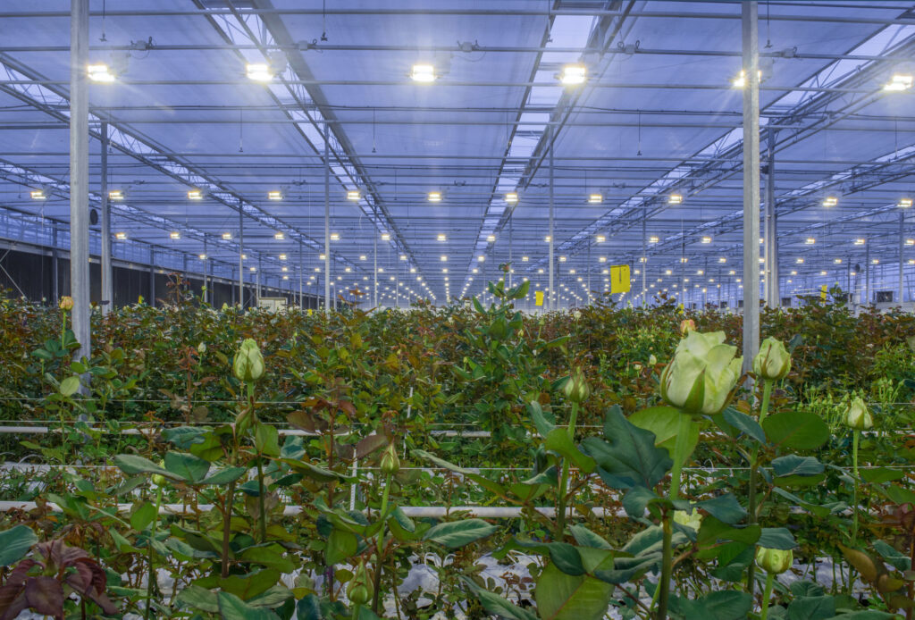 large greenhouse with roses with burning light in the evening
