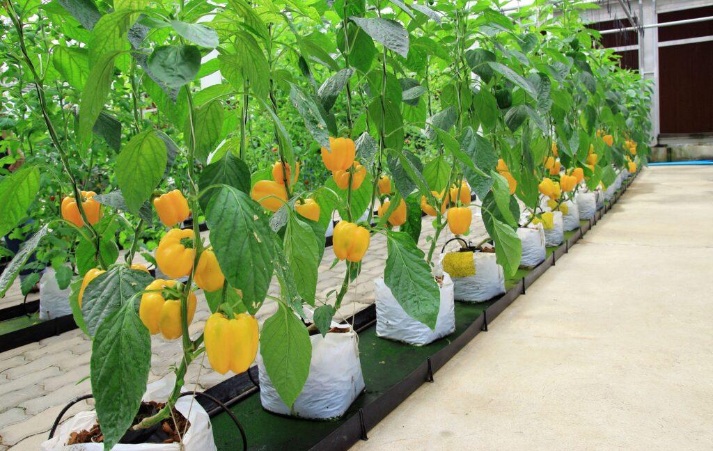 14777474 - pepper plant