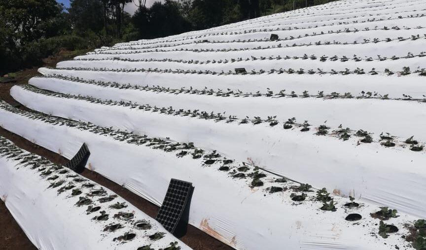 Buenas experiencias con Mulch Blanco en Fresas